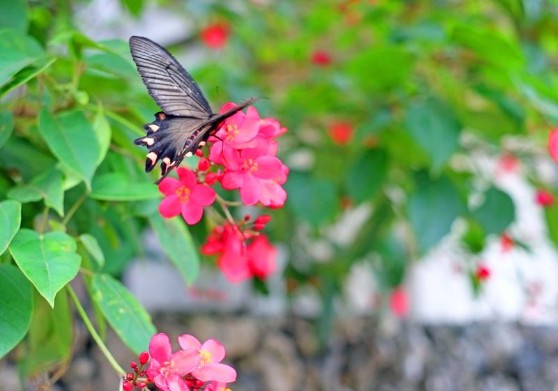 竹富島 蝶